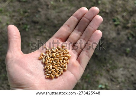 wheat on a palm - stock photo