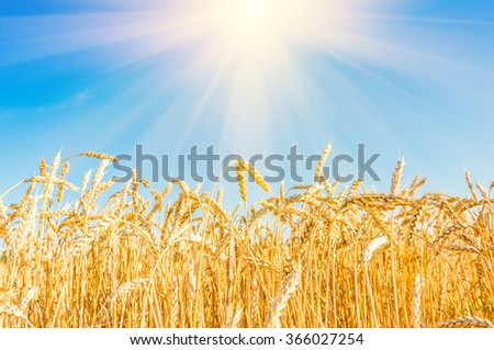 Wheat on the field - stock photo