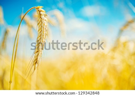 wheat plant - stock photo