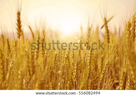 Wheat plant with sunshine