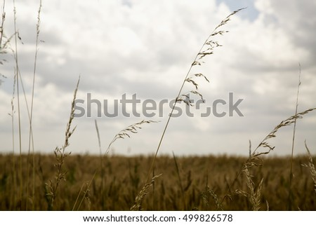 Wheat plants in a field, horizontal image