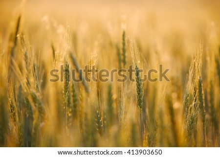 Wheat plants on an agricultural field