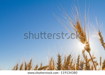 Wheat ready for Harvest - stock photo