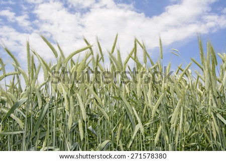 wheat ripening on the field