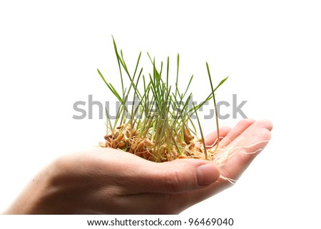 wheat seedling on the hand - stock photo