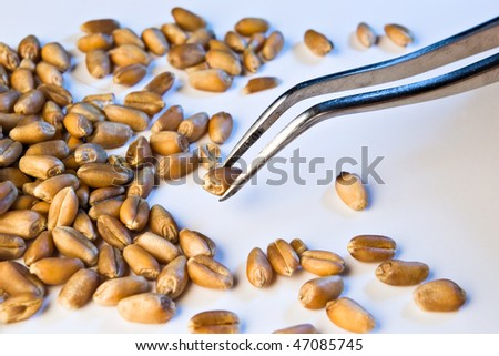 wheat seeds analyzed on tweezers in blue light - stock photo