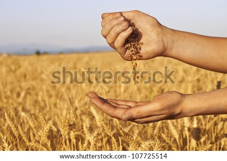 Wheat seeds falling in hand in wheat-field background - stock photo