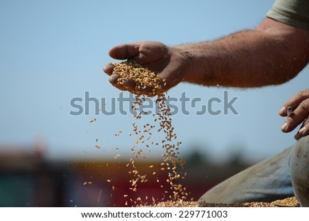 Wheat seeds in hand