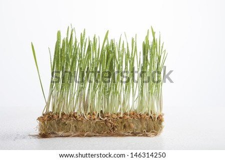 Wheat shoots with water drops on white background.