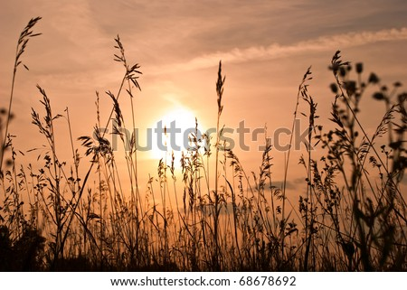 wheat silhouette against the beautiful sunset
