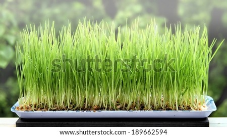 Wheat Sprouts - stock photo