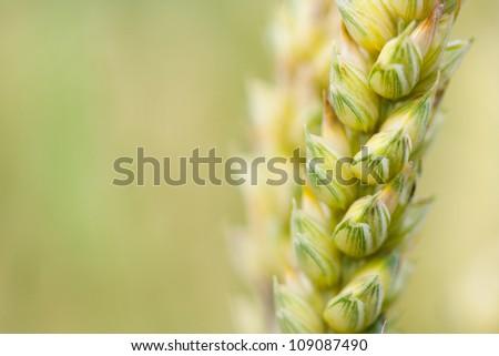 Wheat stem closeup. Blurred background - stock photo
