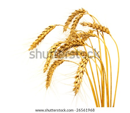 Wheat stems, isolated over white - stock photo
