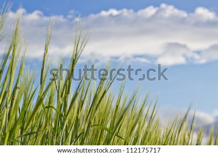 Wheat, still green and young, growing against blue cloudy sky