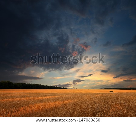 wheat summer field and sunset clouds, square panorama