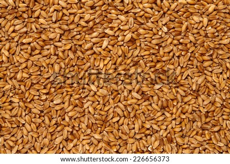 Wheat Surface Texture Top View Close up. Pattern Background