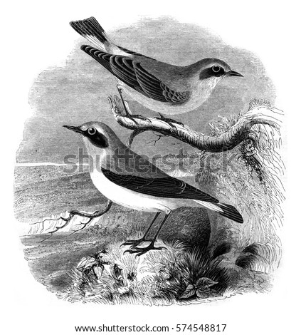 Wheatear, male and female, Motacilla oenanthe, vintage engraved illustration. Magasin Pittoresque 1852.