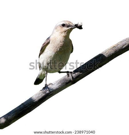Wheatear (Oenanthe oenanthe) in front of white background, isolated. female - stock photo