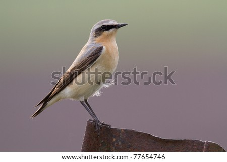 Wheatear on a piece of iron