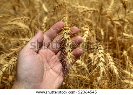 Wheaten ear on a farmer palm on the background's of the wheat field. - stock photo