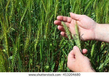 Wheaten ears in the farmer hands with the green wheat field in the background.