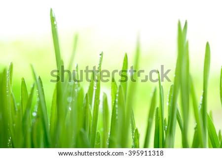 Wheatgrass - stock photo