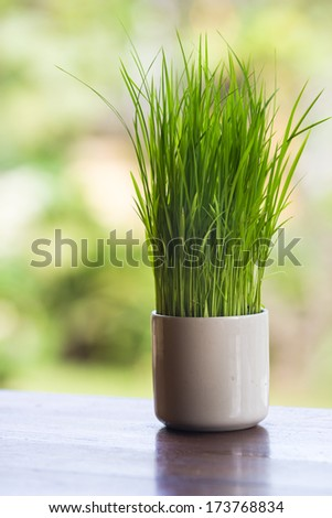 Wheatgrass growing in a white vase decorated tableware. - stock photo