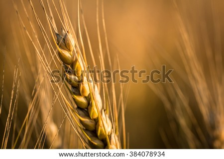 Wheats macro shot in sunset during late summer  - stock photo