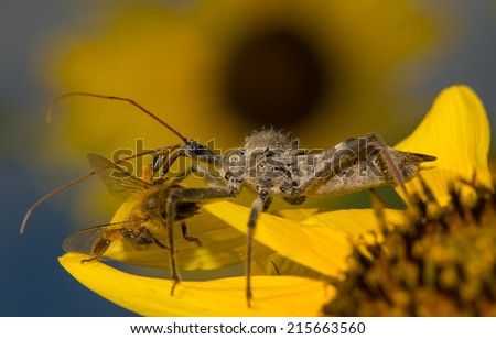 Wheel bug, Arilus cristatus, on a sunflower with prey, eating a small bee  - stock photo