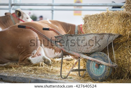 Wheelbarrow full of cattle manure beside straw bales in front of Simmental cows in stable - stock photo