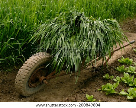 wheelbarrow full of green wheat using as green manure near vegetable bed - stock photo