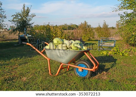 Wheelbarrow with cabbage. Harvest