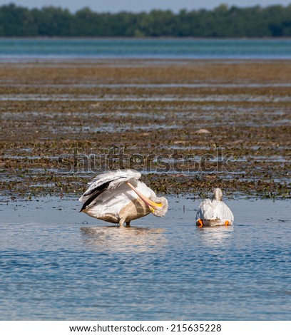 While pelicans socializing in the Everglades - stock photo