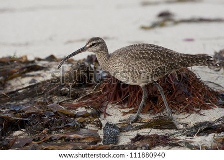 Whimbrel (Numenius phaeopus hudsonicus), American subspecies, foraging for food among seaweed on a sandy beach.