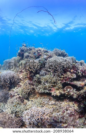 Whip corals on a tropical coral reef - stock photo