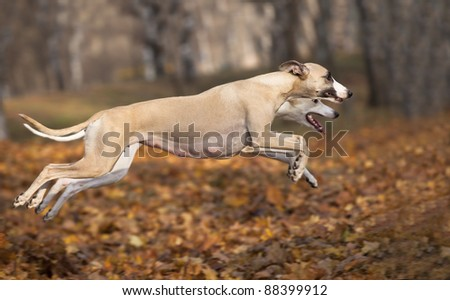 whippet hunting - stock photo