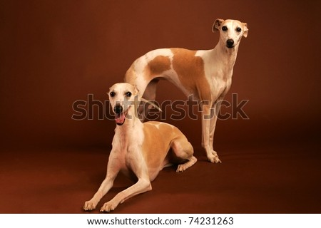 whippet isolated on brown studio background