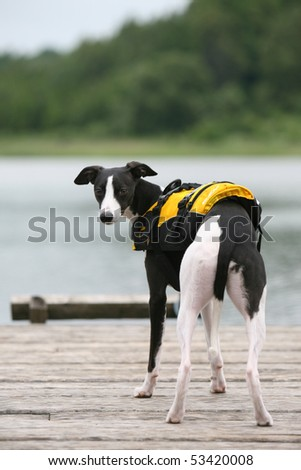 Whippet on the Beach - stock photo