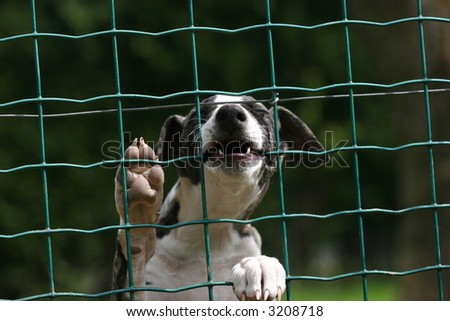 whippet puppy behind the fence - stock photo