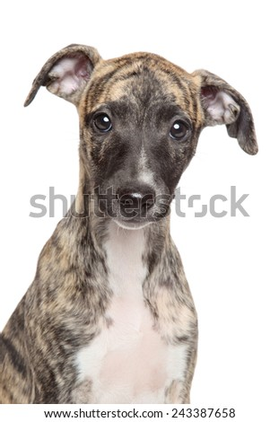 Whippet puppy. Close-up portrait on a white background