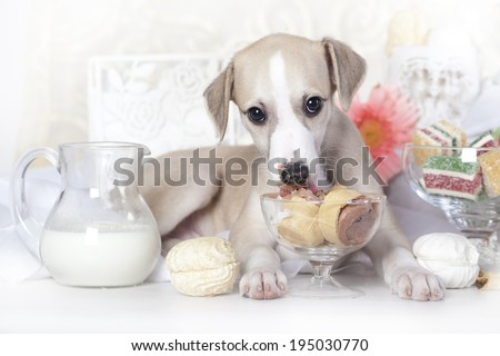 whippet puppy licking ice cream - stock photo