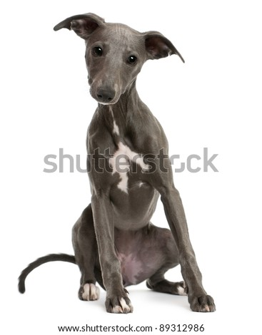 Whippet puppy, 6 months old, sitting in front of white background - stock photo