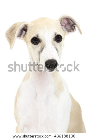 Whippet puppy portrait isolated on white background - stock photo