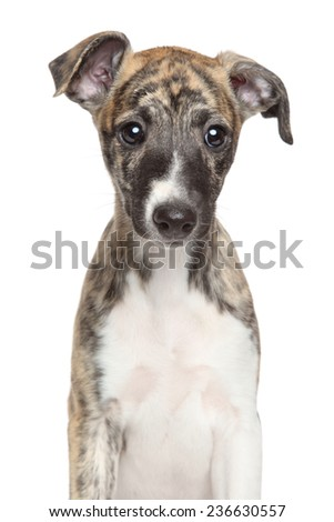 Whippet puppy. Portrait on isolated white background
