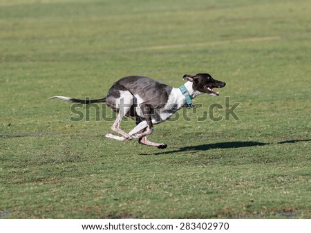 Whippet racing around the park - stock photo