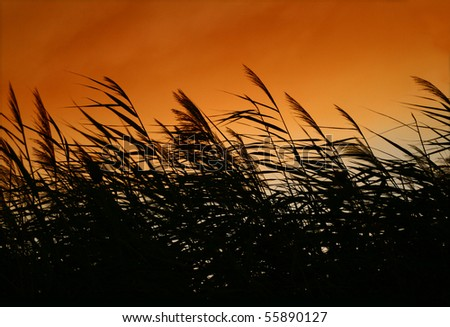 Whispering Reed Silhouette At Smokey Sunset Sunset colored smoke and Reeds   - stock photo