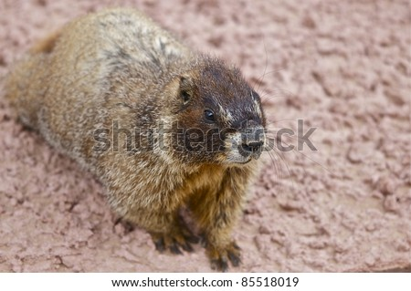 Whistle Pig - Belied Marmot. Colorado Wildlife. Rocky Mountains. USA