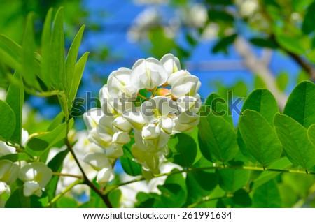 White acacia flowers on green background - stock photo