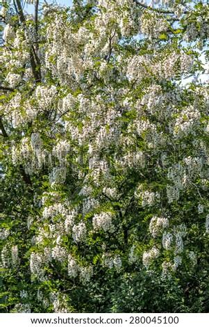 White acacia flowers on the tree - stock photo