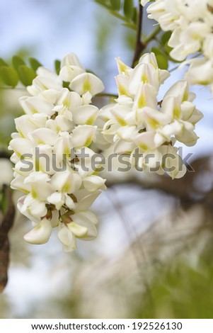 White acacia on a background blue sky